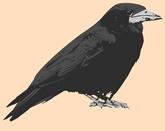 crow, bird
